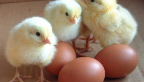 chicks-eggs
