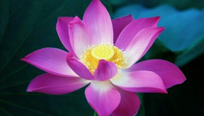 Lotus-Flower
