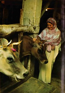 Cow protection, a mainstay of Vedic culture, contributes to the prosperity of ISKCON's many farm communities.