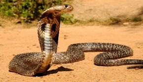 Venomous_Indian_Cobra